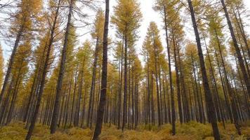 legno di larice foto