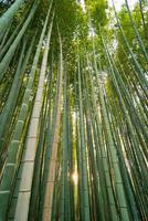 boschetto di bambù foto
