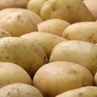 patate appena raccolte foto