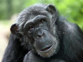 scimpanzé foto