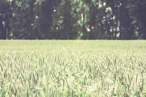 campo di grano con spazio di copia foto