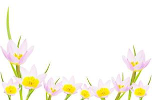 banner di tulipano con spazio di copia. isolato su bianco foto