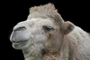 kamel kopf freigestellt foto