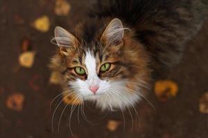 un gatto che guarda in alto con gli occhi verdi