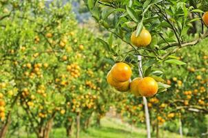 Chiuda sull'albero di arancio