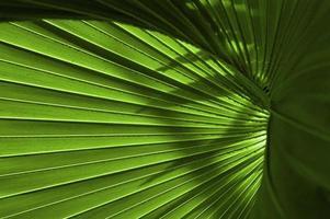 primo piano foglia di palmetto foto