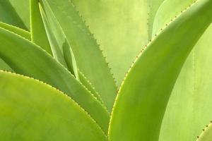 platea di agave da vicino foto