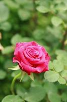 vicino fiore di rosa