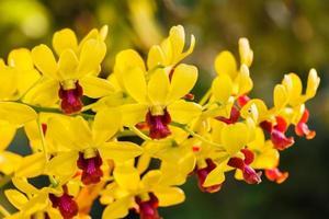orchidee gialle del primo piano foto