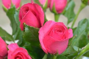 le rose rosa si chiudono su