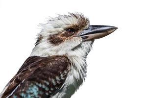 vista laterale di kookaburra isolata su bianco foto