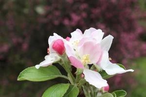 fiore di mela da vicino foto