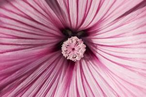 fiore rosa, primo piano foto