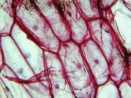microfotografia dell'epidermide di cipolla foto