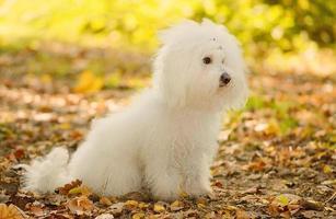il cane bolognese di bichon si rilassa nel parco foto