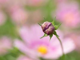 gemma del cosmo nel giardino fiorito foto