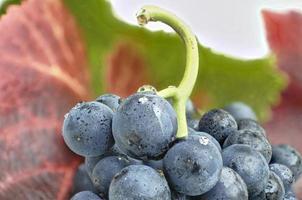 primo piano dell'uva blu foto
