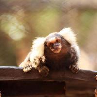 vicino marmoset comune foto