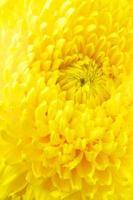primo piano giallo del crisantemo