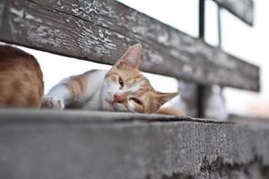 gatto domestico