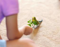Budgerigar verde (pappagallino domestico) sul pavimento foto