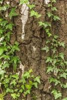 corteccia sullo sfondo, edera in primo piano foto