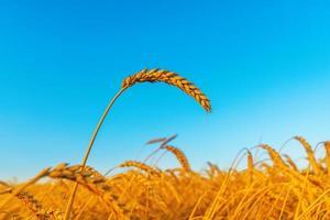 spiga di grano sul campo, ora del tramonto