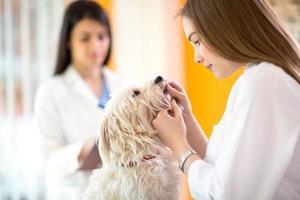 veterinario che controlla i denti del cane maltese foto