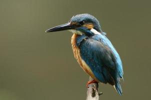 martin pescatore maschio