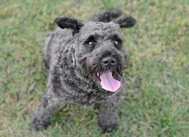 cane schnauzer maschio foto