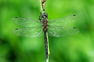 somathoclora flavomaculata, maschio