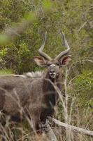 maschio nyala sudafrica foto