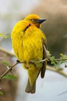uccello maschio del tessitore del capo