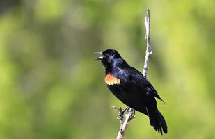 maschio merlo ad ali rosse foto