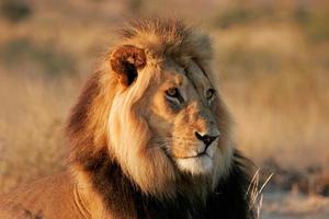 grande leone maschio africano
