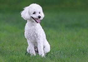 cucciolo di barboncino maschio bianco carino foto