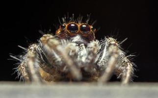 ragno maschio che salta (thiodina hespera)