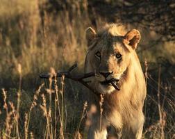 bastone da trasporto leone giocoso maschio foto