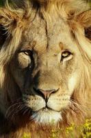 leone maschio alla luce dorata foto