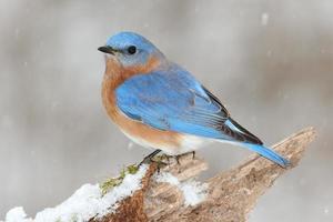 maschio bluebird orientale nella neve