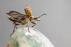 la pinza macchiata di nero sostiene lo scarabeo (rhagium mordax) foto
