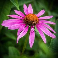 fiore viola del cono, echinacea purpurea foto