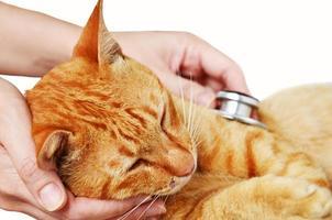 veterinario che esamina un gattino foto