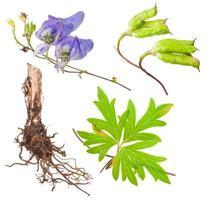 pianta medicinale: aconite foto