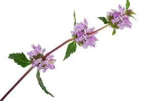 pianta medicinale: phlomoides tuberosa foto
