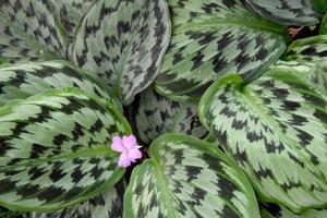 pianta medicinale - maranthaceae