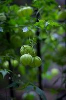 cardiospermum - medicina cinese foto