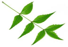 foglia di neem medicinale