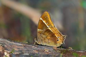 bellissima farfalla nella giungla venezuelana