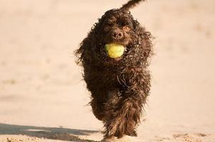 American Spaniel è in esecuzione sulla spiaggia foto